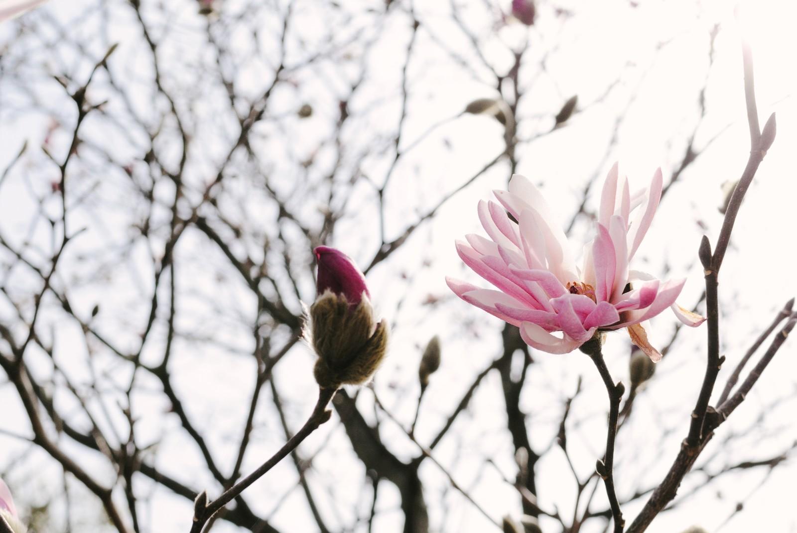 開花 マグノリア