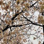 桜あめあがり
